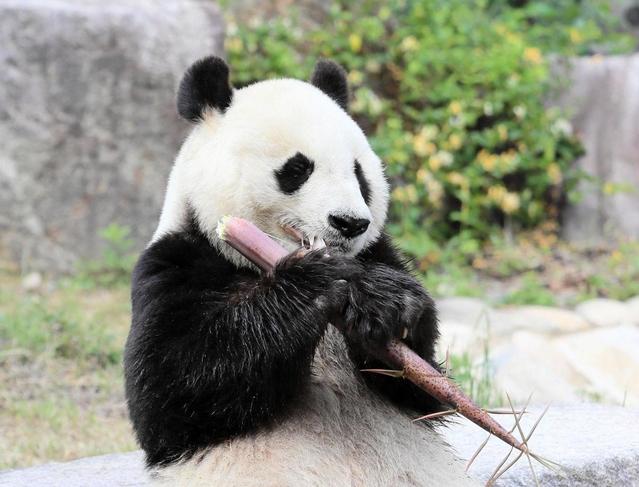 共同研究の契約更新がされず、中国に返還されることが決まった王子動物園のパンダ「タンタン(旦旦)」=19日午後、神戸市灘区、王子動物園(撮影・鈴木雅之)
